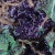 Blueberyy Strain Flower bud