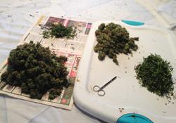 Trimming cannabis