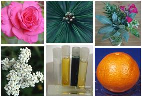 aroma plants