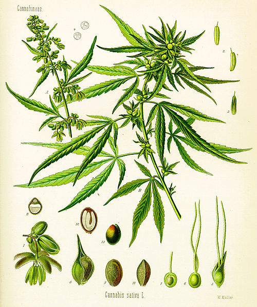 cannabis sativa plant illustration c1900